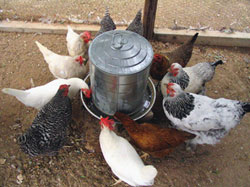 Image of Watering Hens